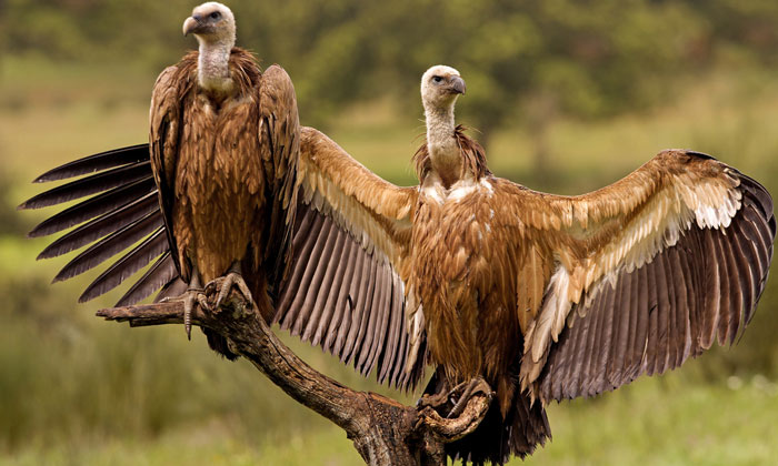 vultures-india-birdstrikes